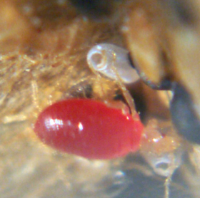Bed Bug Larvae Pictures And Information Terminix