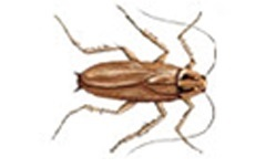 asian cockroach picture